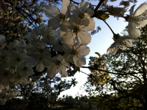 white_blossom_closeup