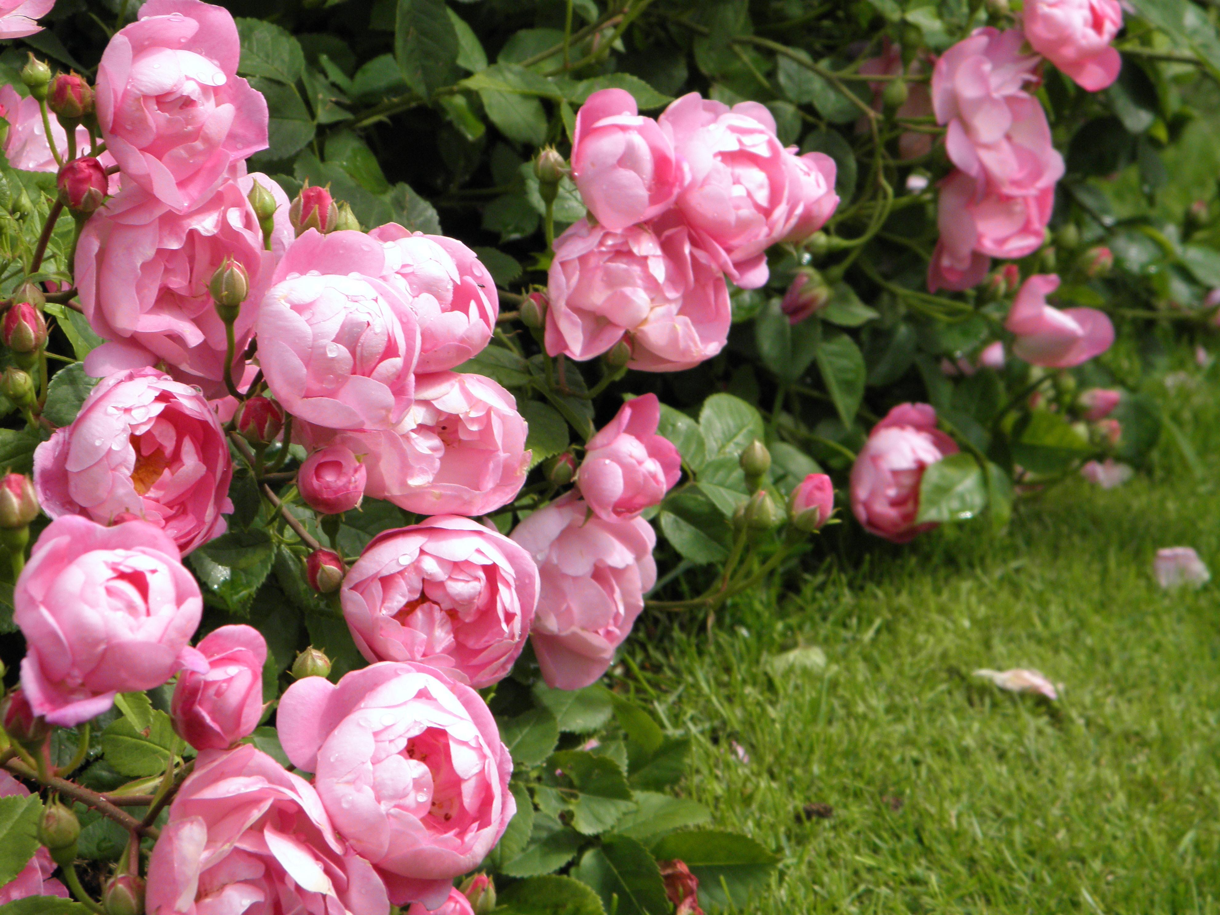 david austin roses paint drops keep falling. Black Bedroom Furniture Sets. Home Design Ideas