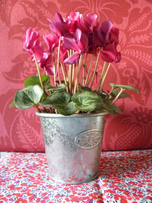 cyclamen set up