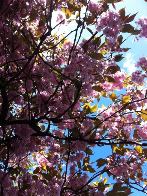 cherry_blossom_IMG_7107