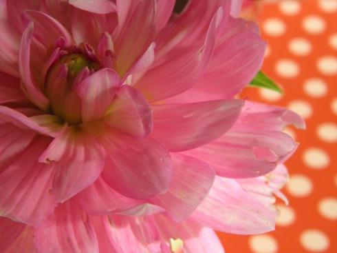 daliahs pink macro