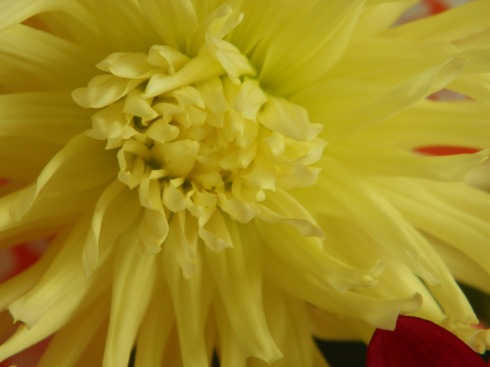 daliahs  yellow